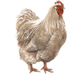 Gallo Leghorn - pelaje 7