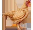 Gallo Orpington - pelaje 17