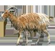 Cabra adulto - pelaje 7