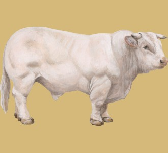 Acoger a un animal de la granja de especie toro charolais