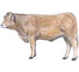 Toro charolais adulto - pelaje 7