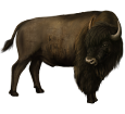 Bisonte - pelaje 26