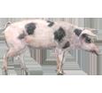 Cerdo - pelaje 68