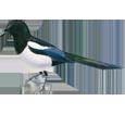Urraca parlanchina adulto - pelaje 65
