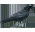 Corneja negra  - pelaje 51