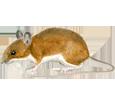 Ratón de campo - pelaje 17