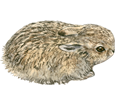 Conejo de campo  bebé - pelaje 52