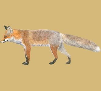 Acoger a un animal de la granja de especie zorro